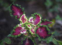 DSC09505 (Old Lenses New Camera) Tags: sony a7r pentax 100mm f28 macro plants garden smcpentaxfa leaves coleus