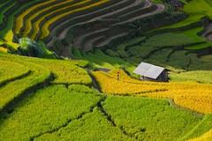 _HD2202. LAPANTAN (DAO HA) Tags: canon1dsmarkiii canon100400mmf4556 lapántẩn mùcangchải terraces sunrise mùalúachín sắcmàuruộngbậcthang ruộngbậcthang bảnlàng yênbái dântộcthiểusố nôngthôn vietnam thảmlúa green nhàsàn mountain imagecolor