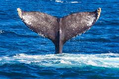 whale8Oct5-18 (divindk) Tags: anacapa anacapaisland channelislands channelislandsnationalpark humpbackwhale megapteranovaeangliae sanmiguelisland santabarbara santacruzisland santarosaisland underwater ventura blueocean cetacean diverdoug flukes marine marinemammal ocean reef sea underwaterphotography whale whaletail