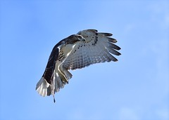 Red-tailed Hawk (Photos By JM) Tags: nature highpark birds raptors