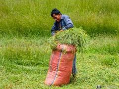 180726-071 Le cueilleur (clamato39) Tags: cambodge cambodia asia asie voyage trip man homme travail champ field