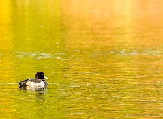 Tufted Duck, Autumn (Karen_Chappell) Tags: tuftedduck duck bird nature animal pond water autumn fall park nfld newfoundland stjohns bowringpark orange green yellow canada atlanticcanada avalonpeninsula eastcoast