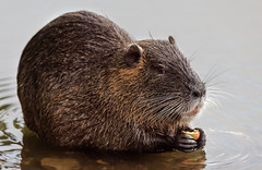 a Nutria eating at sunset (Franck Zumella) Tags: myocastor coypu ragondin eau castor rat water lake lac nager swim nutria red orange rouge teeth tooth dent animal wildlife fun funny amusant junior juvenile jeune baby food herbe grass green vert