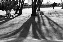 Shadows (tokyobogue) Tags: japan kawaguchi arakawa river riverbank nikon nikond7100 d7100 sigma sigma1750mmexdcoshsm trees tree shadows sunbeams sunset blackandwhite blackwhite monochrome grass