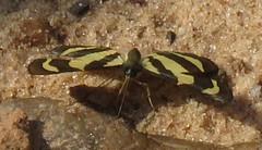 Baeotis euprepes (Birdernaturalist) Tags: bolivia butterfly lepidoptera richhoyer riodinidae riodininae riodinini
