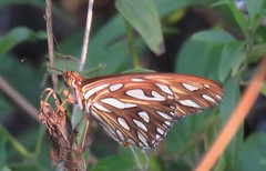 Agraulis vanillae (Birdernaturalist) Tags: bolivia butterfly heliconiinae heliconiini lepidoptera nymphalidae richhoyer