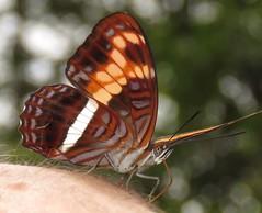 Adelpha sichaeus (Birdernaturalist) Tags: bolivia butterfly lepidoptera limenitidinae limenitidini nymphalidae richhoyer