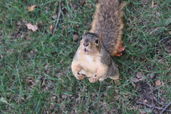 137/365/3789 (October 26, 2018) - Squirrels in Ann Arbor at the University of Michigan - October 26th, 2018 (cseeman) Tags: gobluesquirrels squirrels annarbor michigan animal campus universityofmichigan umsquirrels10262018 fall autumn eating peanut acorns octoberumsquirrel 2018project365coreys yearelevenproject365coreys project365 p365cs102018 356project2018 foxsquirrels easternfoxsquirrels michiganfoxsquirrels universityofmichiganfoxsquirrels