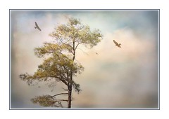 Dancing in the Sky (Christina's World Off and On) Tags: artistic autumn pastels birds blue california colorful colors creative digitalart dramatic digitalpainting delmar dreamy flying frame green gold sky light leaves largebird morninglight nature naturepreserve neighborhood outdoors painterly plants sandiego scenic textures torreypines unitedstates usa vegetation clouds hawks minimalism