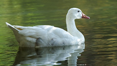 Unusual Goose (2/2) in Paris : Snow goose (Franck Zumella) Tags: oie goose snow neige blanche blanc white oiseau bird lake water eau lac nature animal