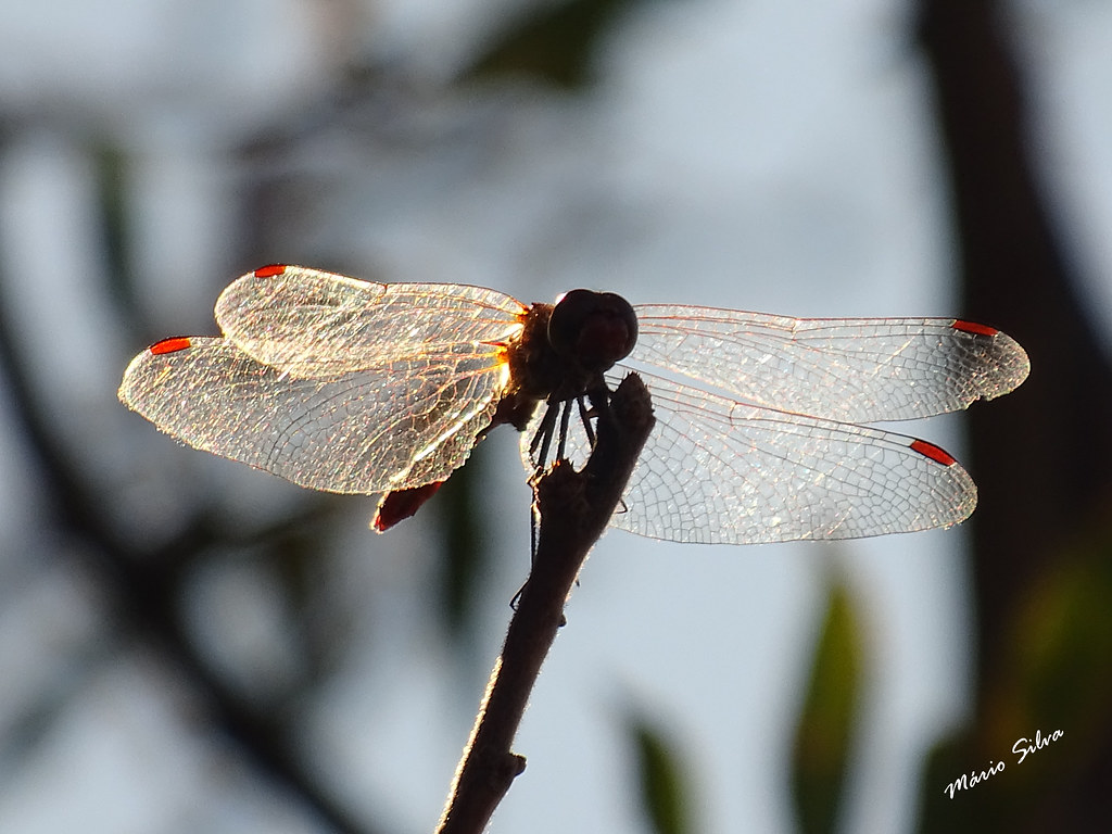 Águas Frias (Chaves) - ... libélula ou libelinha  de asas transparentes e pontas encarnadas ...