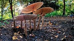 Parasol oder Riesenschirmpilz (norbert.r) Tags: nature autumn forest fungus mushroom outdoors beautyinnature backlit closeup flickrchallengegroup lumix manuellfocus prime sunlight samyang flickrchallengewinner frankfurt