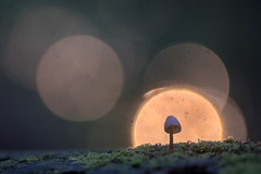 Lampje (Pieter ( PPoot )) Tags: paddestoel tegenlicht macro