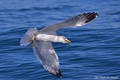 Gabbiano _061 (Rolando CRINITI) Tags: gabbiani gabbiano uccelli uccello birds ornitologia costaltrip viareggio evolution natura