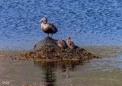 Eiderduck (einisson) Tags: eiderduck birds sea stones seaweed iceland einisson canon70d