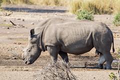 White Rihno,Olifants, Kruger National Park, June 2018 (roelofvdb) Tags: 2018 date june knp oddtoedungulates olifants place southernafricanmammals whiterhinoceros year oda5