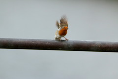IMG_5026 (monika.carrie) Tags: monikacarrie robin wildlife scotland aberdeen