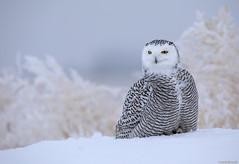 Snowy owl (andrériis) Tags: canada saskatchewan snowy owl winter snow canon hardfrost 500mm