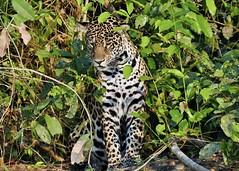 Sitting Jaguar (Panthera onca) (Susan Roehl) Tags: braziltrip2016 thepantanal cuiabariver brazil southamerica jaguar mammal animal carnivore predator pantheraonca thirdbiggestcat takenfromboat 125to200pounds canbe6feetlong 2to212feetatshoulder crushorsuffocatevictim stalking ambush pouncesfromblindspot secludedplacetoeat sueroehl photographictours naturalexposures panasonic lumixdmcgh4 100400mmlens handheld croppedimage grass forest roots byriver onshore coth coth5 ngc npc