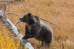 Heads up (ChicagoBob46) Tags: grizz grizzly grizzlybear bear sow yellowstone yellowstonenationalpark nature wildlife naturethroughthelens coth5 ngc npc specanimal