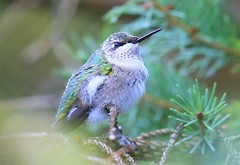 ruby-throated hummingbird at Lake Meyer Park IA 653A2818 (lreis_naturalist) Tags: rubythroated hummingbird lake meyer park winneshiek county iowa larry reis