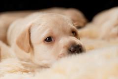 Labrador Puppy at PACT (Jonathan Casey) Tags: dog art 50mm sigma d850 nikon labrador lab uk norfolk pact puppies puppy rescue
