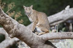 Bobcat in a Tree (toryjk) Tags: treecat lynxrufus lynx baylynx nautre wild wildlife wildbobcat wildcat cat bobcat bobcateye