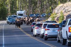 2018-09-trip-3-yellowstone-4-wildlife-mjl-18 (Mike Legeros) Tags: wyoming yellowstone nationalpark bison bisonjam buffaloroam