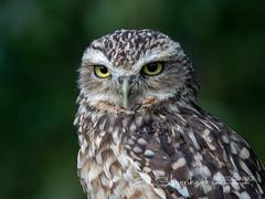 Konijnenuil / Holenuil | Athene cunicularia | Burrowing owl (Ed Steenhoek) Tags: athene athenecunicularia bird birdsofprey burrowingowl littleowl strigidae trueowl