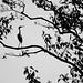 Silhouette of a Great Egret