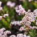 Lovely Mangrove Flowers