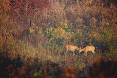 Our Deer Neighbours / In Communa | Fall, 2018 (mikee.wilczek) Tags: deer nature wild flowers fields autumn fall warm sunny sky land flower green red sundown fog family wildflower sigma 150600mm contemporary canon 6d wildlife