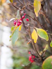 rosehip (Jack182_rus) Tags: m43 olympus em10ii leica summilux 25f14 autumn closeup rosehip