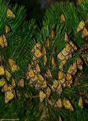 Monarchs on the pines (v4vodka) Tags: monarch monarchbutterfly motyl motylek milkweed commontiger wanderer blackveinedbrown danausplexippus monarchfalter amerikanischemonarch monarcha 君主斑蝶 insect butterfly