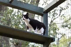 "another view of Tina ""in the trees"" (rootcrop54) Tags: tina tiny female tuxedo cat catenclosure catio catporch neko macska kedi 猫 kočka kissa γάτα köttur kucing gatto 고양이 kaķis katė katt katze katzen kot кошка mačka gatos maček kitteh chat ネコ"