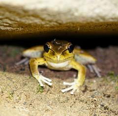 Litoria wilcoxii (Heidi Prichard) Tags: frog amphibian australianfrogs litoria litoriawilcoxii
