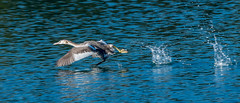 The Chase G C Grebe takeoff