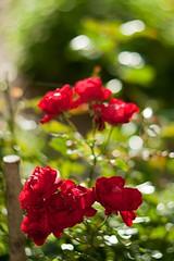 October roses (PblCb) Tags: roses red 85mm helios402h bokeh
