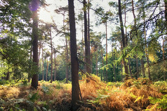 Late Summer (Thomas Rotte) Tags: late summer bilthoven netherlands utrecht forest trees tree sun sunset golden hour wood fall colour iphoneography