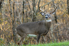 AUTUMN WHITETAIL (Larry W Brown) Tags: shenandoahnationalpark whitetailbuck deer virginia whitetaildeer rut whitetaildeerrut autumnrut nationalparkdeer 10pointbuck