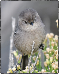 Bushtit (Female) (EXPLORE, Oct 28 2018 #10) (RKop) Tags: bushtit sandiego california raphaelkopanphotography wildlife
