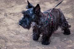 Chutana (Sheyla Grajales) Tags: chutana rally car lima cars fast peru dog schnauzer perro
