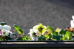 P1130527 (harryboschlondon) Tags: harryboschflickr harrybosch harryboschphotography harryboschlondon october2018 october 2018 21stoctober2018 plantstreesandflowers botanical botanicalphotography nature naturephotography england englandphotography