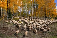 Sheepish Fall Foliage (Bernie Duhamel) Tags: sheep colorado coloradowildlife wildlife sonya7riii sony2470mm aspen bernie duhamel greatphotographers teamsony rockymountains fallfoliage fall leaves keblerpass