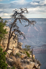 Yet Standing (Kirk Lougheed) Tags: arizona coloradoplateau grandcanyon grandcanyonnationalpark southrim usa unitedstates yakipoint canyon deadtree landscape nationalpark outdoor park rim snag summer tree