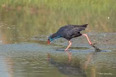 El caminar del Calamon con sus grandes patas (morlokiano) Tags: fauna naturaleza aves birds pajaros charcas laguna