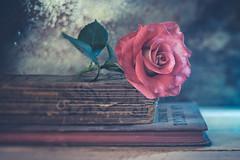 Autumn Rose (Ro Cafe) Tags: edge80 lensbaby sonya7iii stilllife macroconverter flower rose books bokeh blur still life