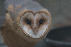 Tyto alba (Torok_Bea) Tags: tytoalba gyöngybagoly cute lovely bird beutiful nice verynice nikon nikond7200 d7200 natur nature owl