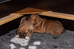C00A9981.jpg (pka78-2) Tags: pentu rölli puppy röllivuoren staffie hulda staffi staffodshirebullterrier hpentue pennut