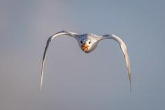 Thank Goodness For Big Glass (gseloff) Tags: royaltern bird flight bif nature wildlife animal sky beak crazy rabid bolivarflatsshorebirdsanctuary galvestoncounty texas gseloff